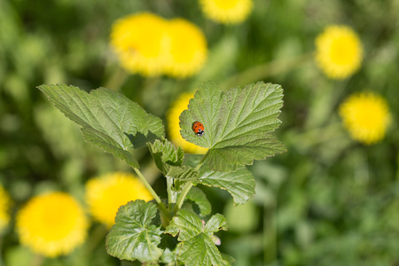 lady beetle: ladybug Stock Photo