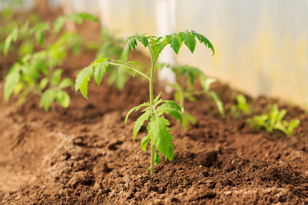 hotbed: Plant a sapling a tomato bush in the greenhouse Stock Photo