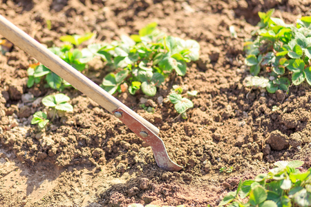 dibble: Work with a shovel or rake on a kitchen garden with plants.