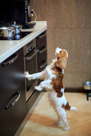 The dog a King Charles Spaniel a dog wants to eat and stands near the gas stove. 版權商用圖片