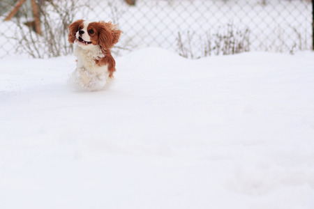 The dog a King Charles Spaniel runs on snow. A dog in the movement.
