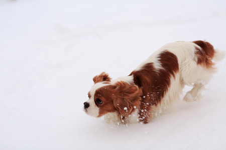 The dog a King Charles Spaniel goes on snow and sniffs.