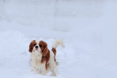The dog a King Charles Spaniel goes on snow. A dog - a symbol of 2018.