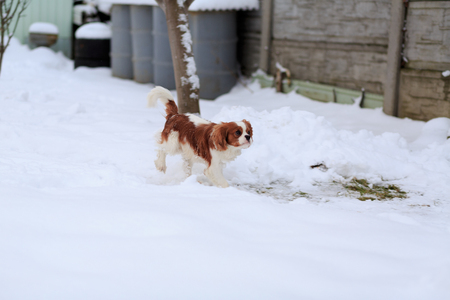 The dog a King Charles Spaniel runs on white snow in the winter.
