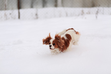 The dog a King Charles Spaniel runs on white snow.