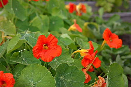 Red and orange nasturtiums in the garden. Flowering, autumn flowers.