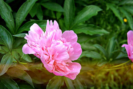 Fresh pink peonies in the garden. Summer flowers. Toned. Copy space.