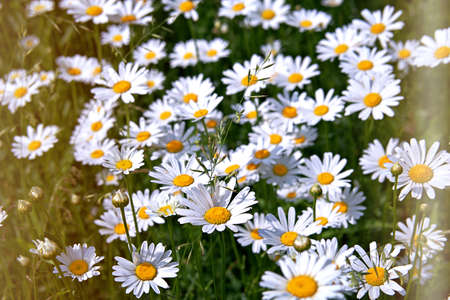 Natural background, blooming daisies in the meadow. Summer concept. Toned.