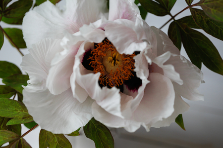 Blooming tree-like peony. First peony which bloom in the spring