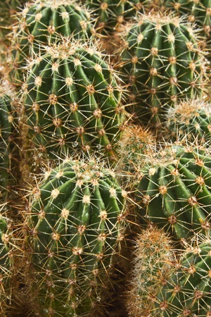 cactus species: Farm producir una gran cantidad de especies de cactus (backkground) Foto de archivo