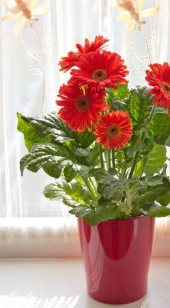 デイジーの花、赤いデイジーの花ポット
