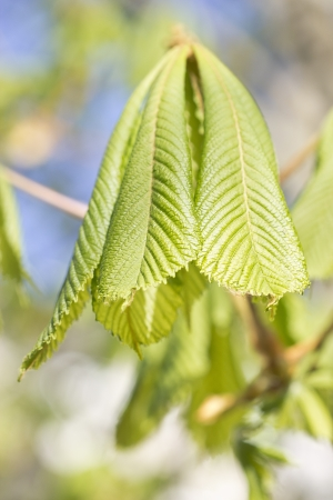 The sprouting leaves of a chestnut tree in spring , the leaves of chestnut (Aesculus hippocastanum) on the background of green leaves and blue sky  photo
