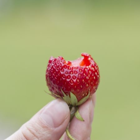 someone eating fresh strawberry, hand holding a strawberry  Stock Photo