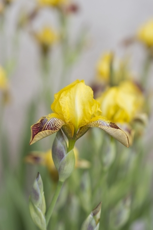 yellow irises blossoming in a garden