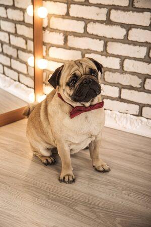 neckcloth: pug dog. studinnoe photo Stock Photo