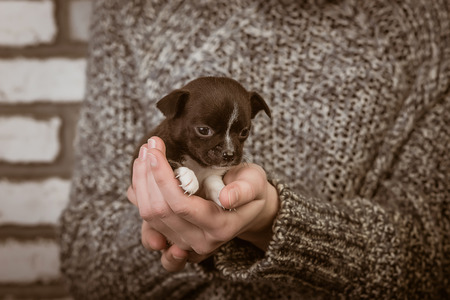 girl holding a chihuahua puppy. studio