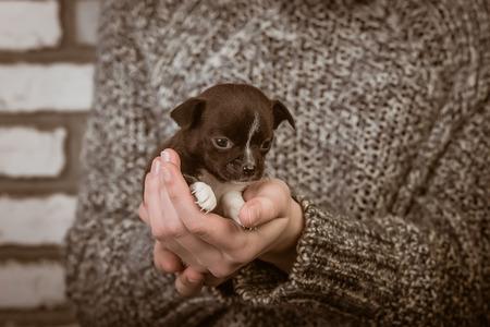 perrito: niña sostiene un perrito chihuahua. estudio Foto de archivo