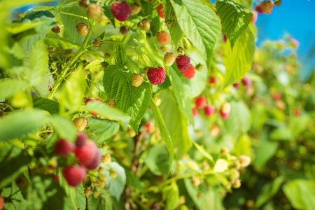 Raspberry on a branch