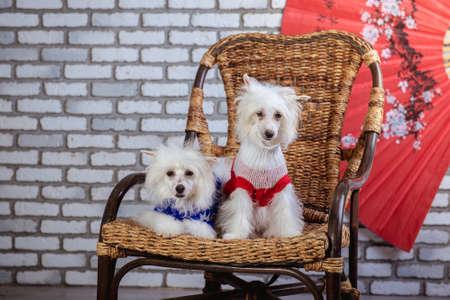 Chinese Crested Dog Studio photo Stock Photo