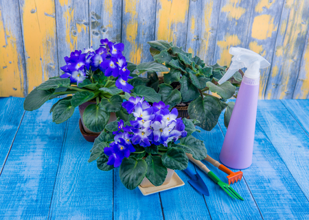 houseplants, transplanting flowers in pot, garden accessories Stockfoto