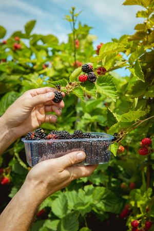 Blackberries in the farm, ready to be harvested