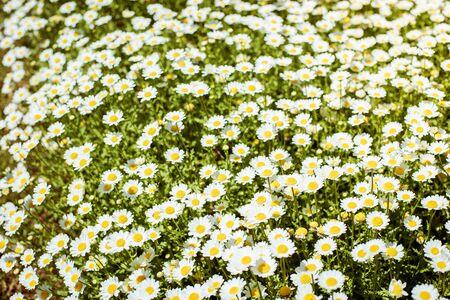 White camomiles on green field Reklamní fotografie - 133387097
