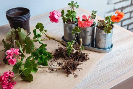 geranium in a pot, transplanting potted flowers Reklamní fotografie - 135094232