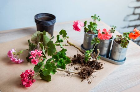 geranium in a pot, transplanting potted flowers