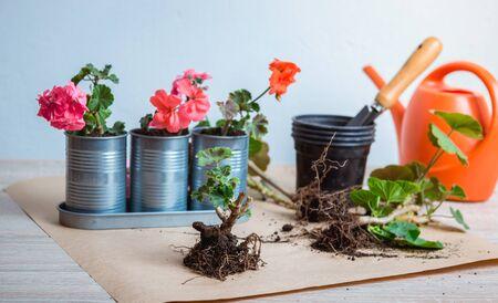 geranium in a pot, transplanting potted flowers Reklamní fotografie - 135094231