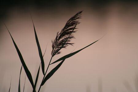 sea oats: sea oats (grass)