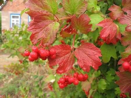 fascicule: Fascicule of red viburnum on a background of cottage