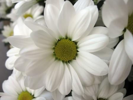 photo of a large flower Chrysanthemum, close-up photo