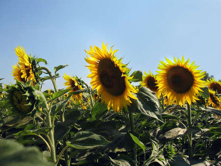 A field of sunflowers on a background of blue sky photo
