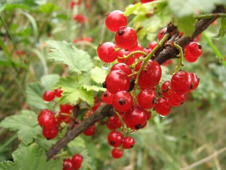 fascicule: Fascicule of red currants in drops of dew