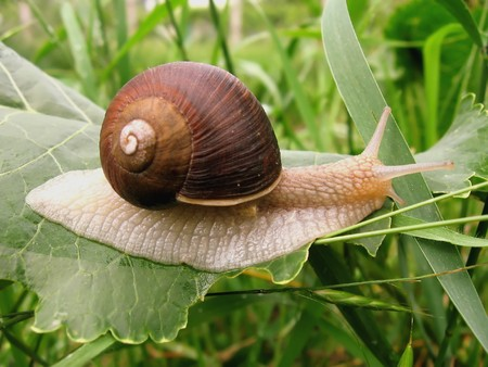 gastropoda: snail crawling on the green leaf, close-up