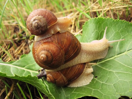 mucus: pyramid of three snails on the green leaf, close-up
