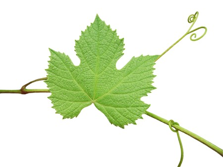 tendrils: The green grape leaf on a white background, isolated