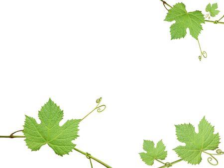 vid: Las hojas verdes de uvas sobre un fondo blanco, marco