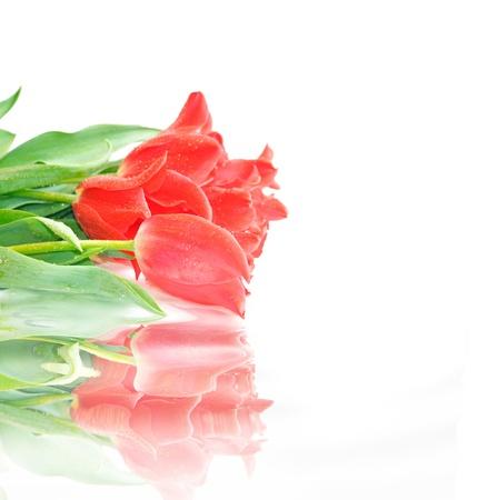 Beautiful pink tulips isolated on white background photo