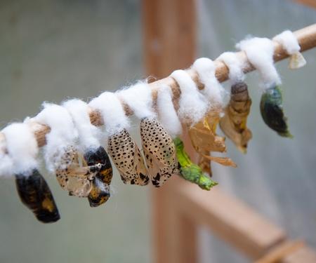 Un closeup crisalide farfalle, larve e bozzolo Archivio Fotografico - 9524111