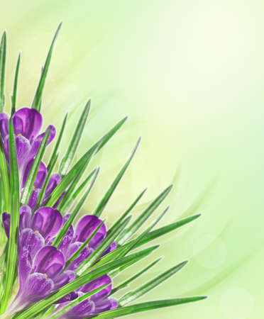 lilac flower crocus on green yellow background Stock Photo - 9552630