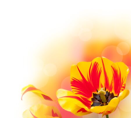Beautiful tulip border, isolated on white background