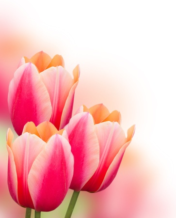 Beautiful pink tulips border, isolated on white