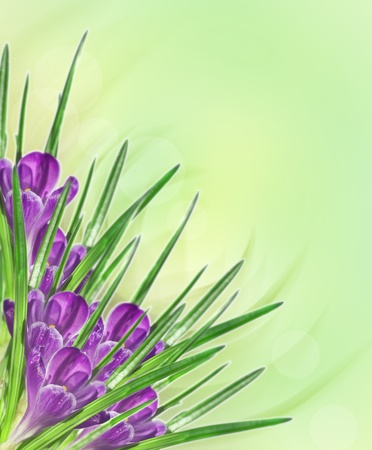 lilac flower crocus on green yellow background photo