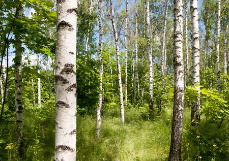 Birch forest. Sunny summer day, green grass and blue sky