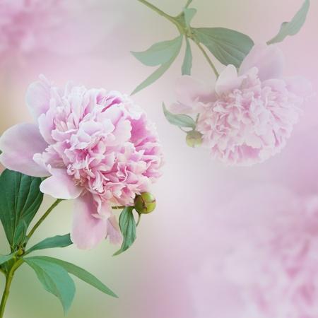 Beautiful pink peony flowers. Decorative spring background. photo