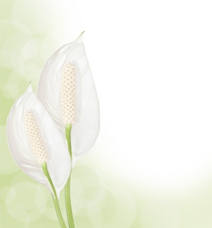 Beautiful Spathiphyllum flowers border isolated on white background photo
