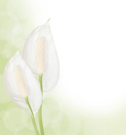 Beautiful Spathiphyllum flowers border isolated on white background photo