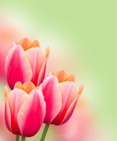 pink tulips: Beautiful pink tulips border on green background