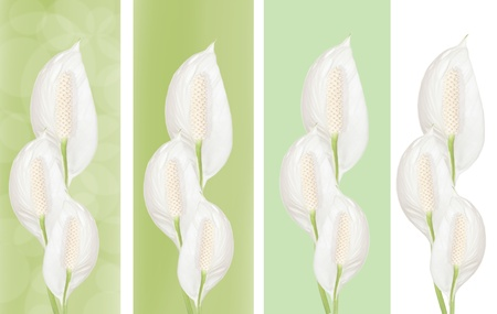 Beautiful Spathiphyllum floral border, flowers isolated, collection  photo